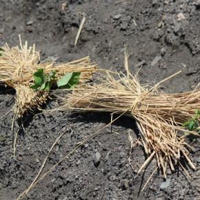 さつまいもの苗を植えました・・・