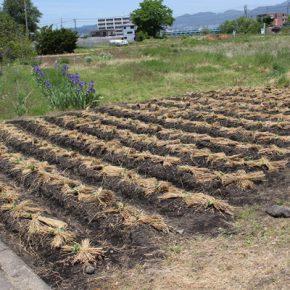 さつまいもの苗植えをしました…